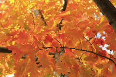Close up of maple tree Royalty Free Stock Photo