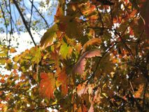 Maple tree leaves. Close up maple tree. Leaves, autumn Stock Photos