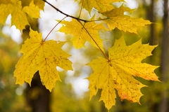 Close up of maple tree leaves on brunch outdoors. Autumn, season and nature concept - close up of maple leaves on brunch outdoors Royalty Free Stock Photos