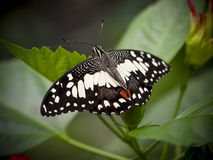 Close up of a marbled white butterfly Stock Photography