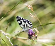 Close-up of a Marbled White butterfly Melanargia galathea. stock image