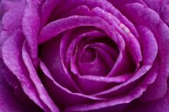 A macro close up of a vibrant purple rose royalty free stock photo