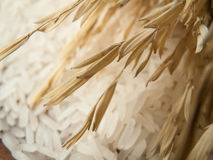 Close up marco rice plant  and white rice Royalty Free Stock Photo