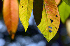 Close up marco shot leaf in autumn season show the natural Royalty Free Stock Photography