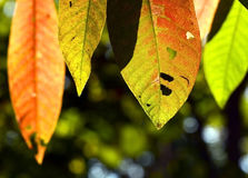Close up marco shot leaf in autumn season show the natural Royalty Free Stock Image