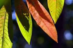 Close up marco shot leaf in autumn season show the natural Royalty Free Stock Photo