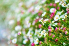 Close up Marguerite field garden daisy, bellis perennis. Nature background. Selective focus.  stock photo