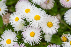 Close up of marguerites Stock Photography