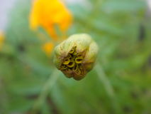 Close up of marigold bud Stock Image