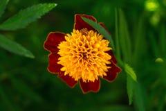 Marigold sunny flower. Ukrainian summer flowers royalty free stock photography