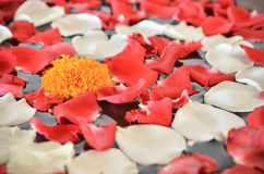 Close up of Marigold flower and petal of red and white rose. On the water surface Stock Photo