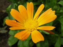 Close-up on Marigold flower during summer rain. Calendula officinalis herb known as Marigold during sunny day. Close-up Stock Images