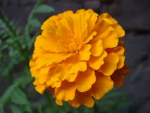 Close up of marigold flower. Close view of marigold flower Stock Photos