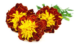 Close up of marigold flowers Stock Photography