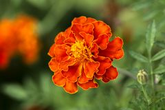 Close up of Marigold flowers Royalty Free Stock Images