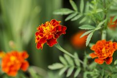 Close up of Marigold flowers Stock Image