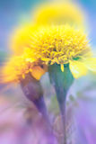 Close up of marigold with shallow depth of field. Royalty Free Stock Photography