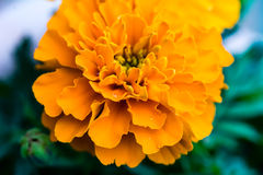 Close up of a Marigold (Tagetes) flower with some rain drops. Close up of a Marigold flower with some rain drops Stock Images