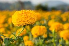 Close-up marigold Stock Photo