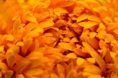 Close-up Marigolds (Tagetes erecta, Mexican marigold, Aztec mari. Gold, African marigold Royalty Free Stock Photography