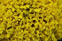 Close-up Marigolds (Tagetes erecta, Mexican marigold, Aztec mari. Gold, African marigold Royalty Free Stock Image