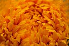 Close-up Marigolds (Tagetes erecta, Mexican marigold, Aztec mari. Gold, African marigold Stock Images