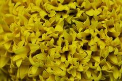 Close-up Marigolds (Tagetes erecta, Mexican marigold, Aztec mari. Gold, African marigold Stock Image