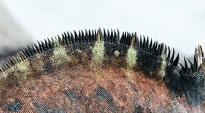 Close-up Marine Iguana. Close-up of the spines on the back of a marine iguana stock photography