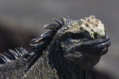 A close-up of a Marine Iguana Stock Images