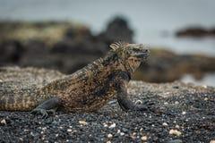 Close-up of marine iguana lying on beach Royalty Free Stock Photo