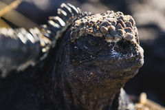 A close up of a Marine Iguana Royalty Free Stock Image