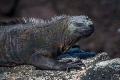 Close-up of marine iguana on sandy rock Stock Image