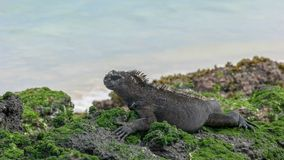 Close up of a marine iguana on the shore of isla san cristobal in the galapagos. Islands royalty free stock images