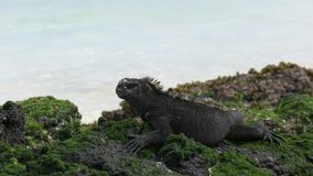 Close up of a marine iguana on the shore of isla san cristobal in the galapagos stock video footage