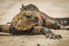 Close-up of marine iguana sunbathing on beach Stock Photos