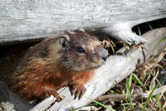 Close up of a marmot Royalty Free Stock Photo