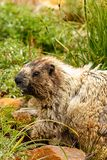 Close up of a marmot face in grass. In alpine meadow at mount rainier stock photo