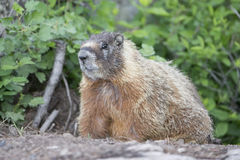 Close up of marmot Stock Image