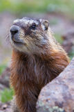 Close up of a marmot Stock Photo
