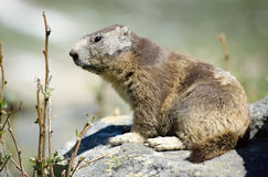 Close up of a marmot on rock. Close up of a young marmot on rock with blur background in French alps, France stock photo