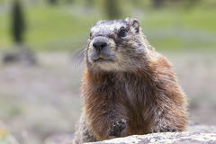 Close-up of marmot on rock Stock Photo