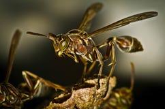 Close up marrom pequeno do macro da vespa Fotografia de Stock