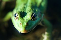 Close up marsh frog green amphibian Pelophylax ridibundus. Up view, selective focus.  Stock Image