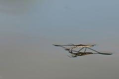 Close-up of marsh treader. (pond-skater Royalty Free Stock Photo
