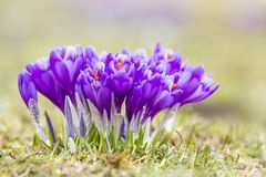 Close-up of marvelous blooming violet crocuses in the Carpathian mountains valley on bright spring morning. Protection of nature a. Nd beauty of life concept royalty free stock photography