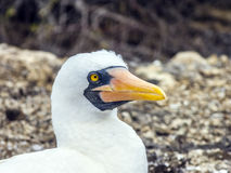 Close up of  masked Boobie at Galapagos island of North Seymour Royalty Free Stock Image