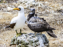 Close up of  masked Boobie at Galapagos island of North Seymour Stock Image