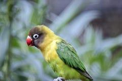 Masked lovebird Royalty Free Stock Photos