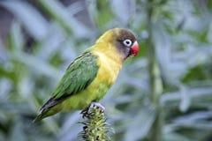 Masked lovebird Stock Photo