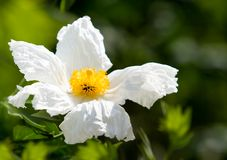 Close up Of Matilija Poppy ~ California Tree Poppy Stock Image